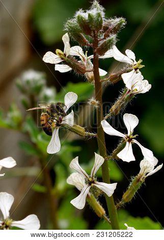 Bee Pollinating Wild Flower In The Garden