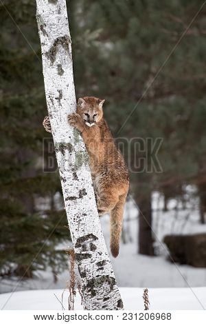 Female Cougar (puma Concolor) On Tree Trunk - Captive Animal