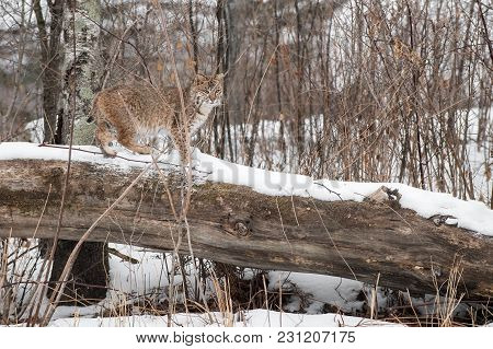 Bobcat (lynx Rufus) Stands On Log - Captive Animal