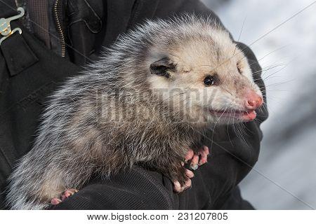 Opossum (didelphimorphia) In Arms Of Handler - Captive Animal