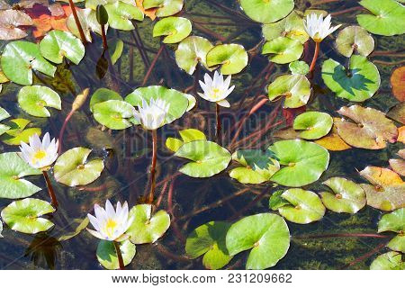 Water Lilies Bloom In The Lake. Water Lily Flower With Green Leaves In The Water.