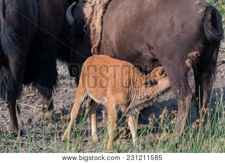 Bison Calf Nurses While Mother Grazes In Field
