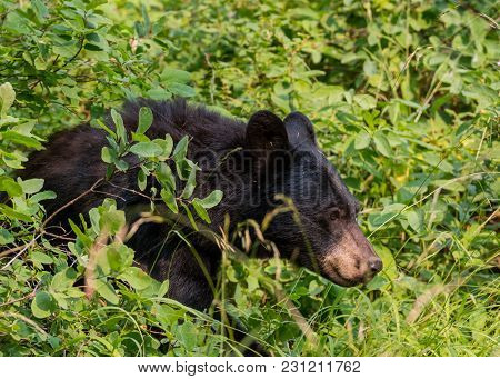 Black Bear Walks Through Thick Bushes In Wilderness