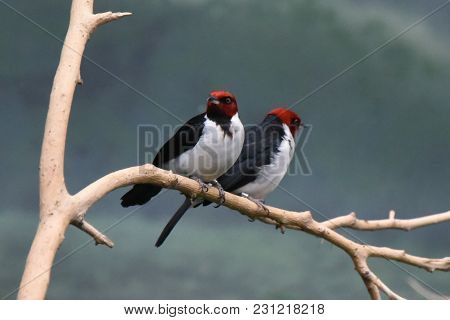 Pair Of Two Red Capped Cardinals Perched On A Tree Branch Side By Side Together