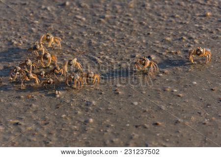 Many Small Crabs Are On A Beach.