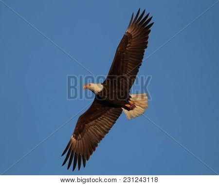 beautiful adult golden eagle flying overhead