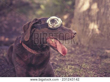 chocolate lab with goggles on toned with a retro vintage instagram filter