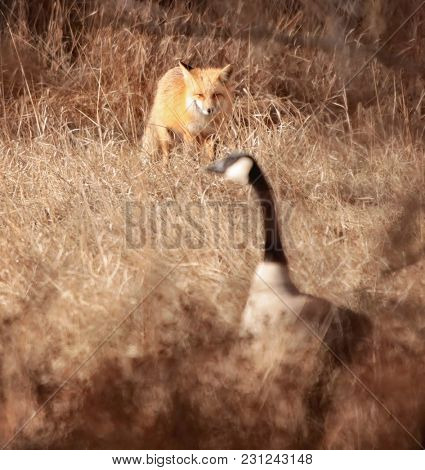 sneaky fox trying to hunt a canada goose in the brush