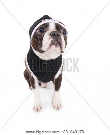 boston terrier with a hoodie on studio shot on an isolated white background