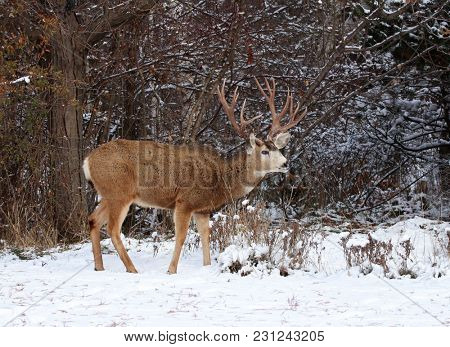 beautiful buck with large antlers
