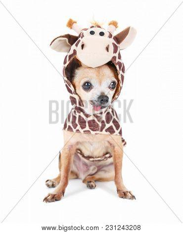 cute chihuahua in a giraffe costume isolated on a white background studio shot portrait