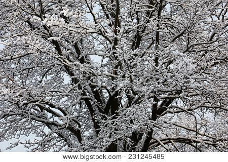 Thin And Thick Branches Of An Average Part Of A Crone Of An Old Oak Are Covered By White Fluffy Snow