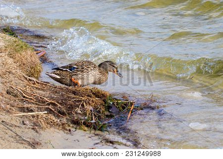 Mage A Wild Duck Walks From Shore To River