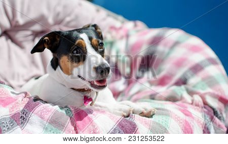 Small Dog Jack Russell Terrier Sits In An Armchair, Light Key Selective Focus