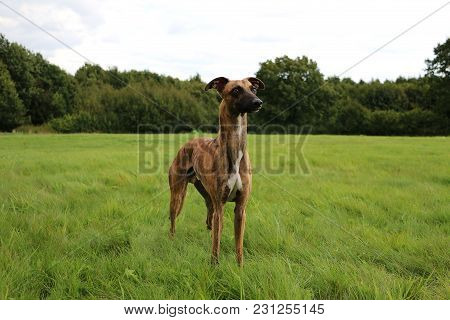 brindle whippet is standing in the park poster