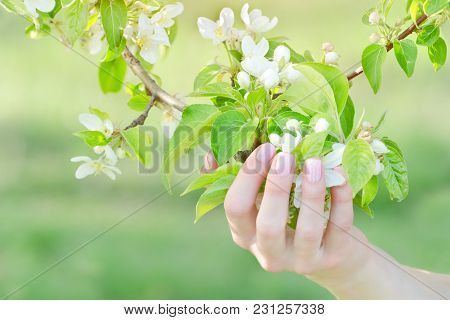 Female Hand With Apple Tree Flowers, Manicure. Close Up