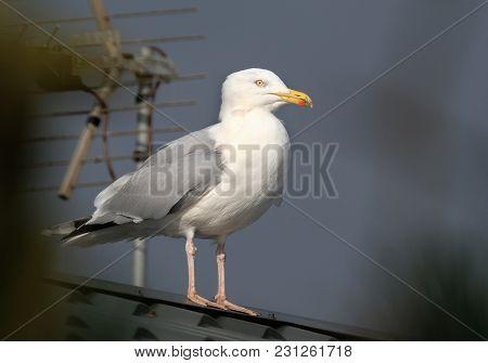 Herring Gull Feeding In Urban House Garden In Cold Winter Conditions
