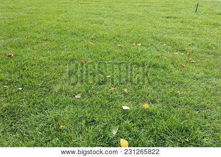 Mown Lawn With Several Fallen Leaves Of Birch