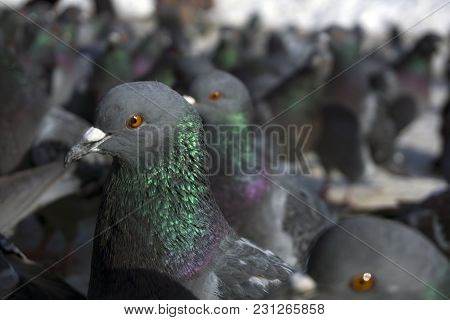 Large Flock Of Pigeons On The Ground Closeup Bottom View