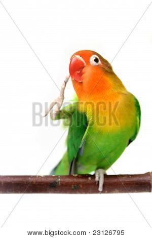 Lovebird isolated on white