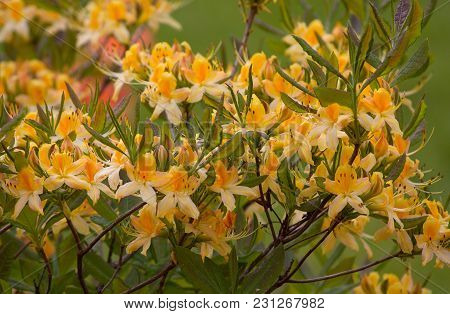 Yellow Flowers Rhododendron In The Garden. Nature