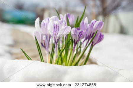 Beautiful spring crocuses close up