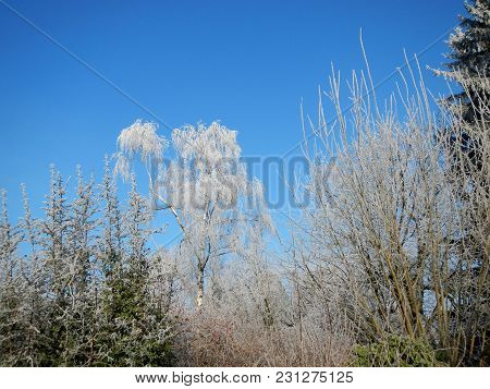 Trees In Winter, Frost And Snow, Against A Bright Blue Sky
