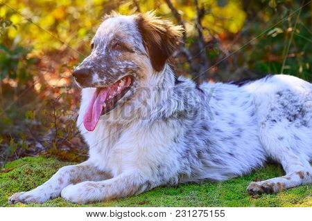 White And Black Large Breed Dog With Red Tongue In The Grass