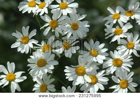 Daisies On A Meadow, White Flowers With Yellow Center, Spring
