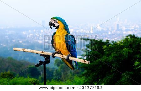 Blue And Yellow Macaw (ara Ararauna), Macaw Parrot