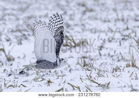 A Snowy Owl In Flight Across A Corn Field