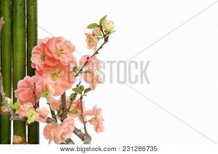 Border of flowering branches, orange cherry flowers with bamboo grove