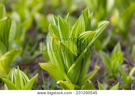 Green Leaves Of Flower Sprouts In Spring