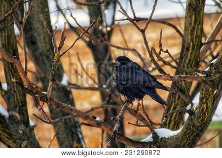 Rook Sits On A Bare Nut Branch, Sometimes Covered With Snow (corvus Frugilegus)