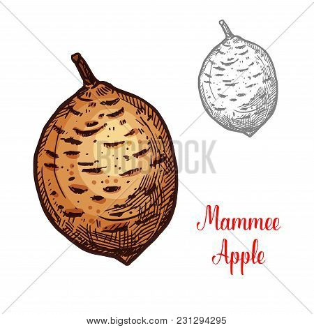 Mammee Apple Exotic Fruit Vector Design. Mammee Apple Also Known As American Apricot Isolated On Whi