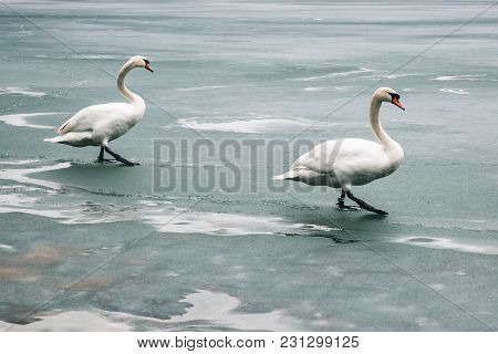 Two Large Beautiful White Swans Walk On The Ice Covered Lake