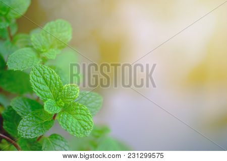 Mint Leaves Fresh Close Up On Background