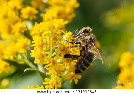 Honey Bee Collecting Pollen From Yellow Flowers