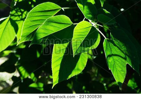 Tree Branch With Vividly Sunlit Green Leaves