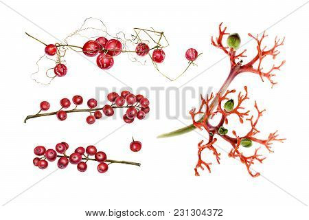 Botanical Set Of Red Plants. Ilex, Jatropha And Lollipop Climber. Watercolor Illustration Isolated O