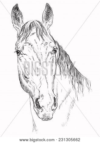 Trakehner Portrait. Horse Head Looking In Camera In Monochrome Color Isolated On White Background. V