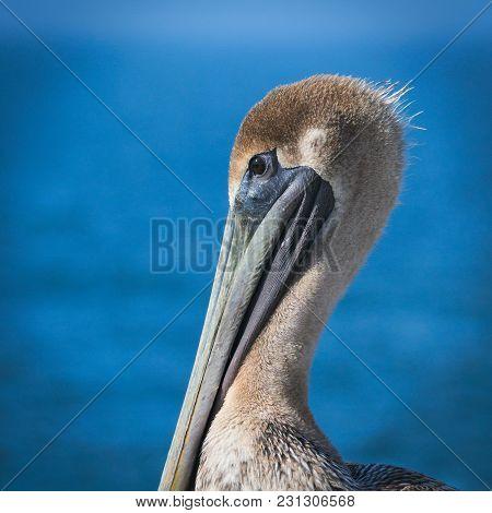 Brown Pelican - Pelecanus Occidentalis - Closeup Of Single Bird Resting Near Water