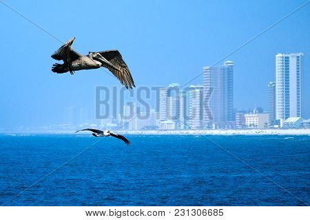 Brown Pelicans - Pelecanus Occidentalis - Two Birds Flying Over Water Near Beach And Highrise Buildi