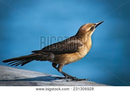 Female Great-tailed Grackle Bird, Quiscalus Mexicanus, In Sunlight