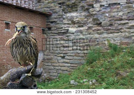 A Beautiful Bird Of Prey, The Falcon Eats A Chicken Paw.