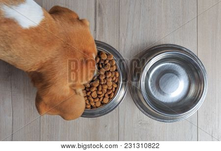 Beagle Dog Eating Food From Bowl. Top View.
