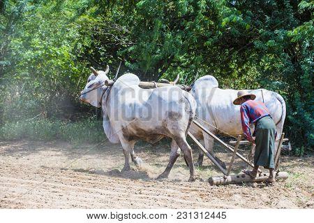 Bagan , Myanmar - Sep 06: Burmese Farmer Plowing With Oxen In Village Near Bagan Myanmar On Septembe