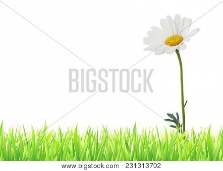 Wonderful Daisy (marguerite) And Grass Isolated On White Background, With Free Text Field (copy-spac