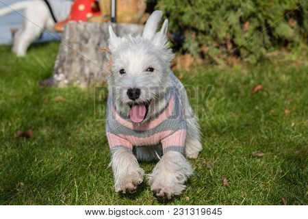 Purebred Adult West Highland White Terrier Dog On Grass In The Garden On A Sunny Day.