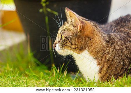 Animals. Brown Tabby Cat Enjoying Himself Outdoor In Garden, Warming In The Sun